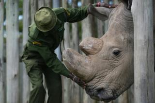 A caregiver calms Sudan, the last known male of the northern white rhinoceros subspecies, on December 5, 2016, at the Ol Pejeta conservancy in Laikipia County