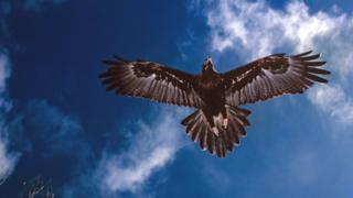 A wedge-tailed eagle in flight