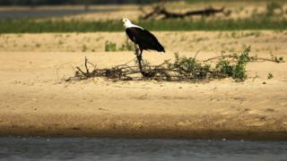 African fish eagle in Selous Game Reserve
