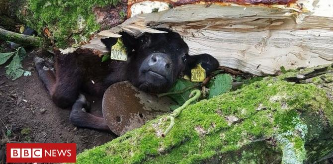 Hurricane Hector: Calf free of underneath a collapsed tree