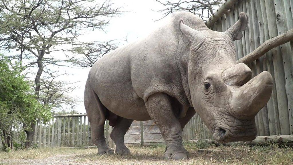 Closing male northern white rhino joins Tinder to raise money
