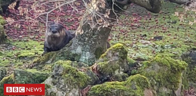 An otter on the loose is consuming koi from a formal lawn