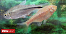 Mexican tetra fish would possibly offer heart repair clues