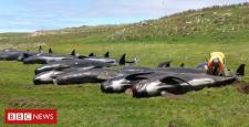 Whale stranding: Another 50 pilot whales die off NZ