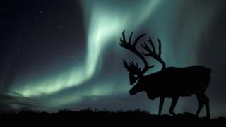Local Weather amendment: Arctic reindeer numbers crash by half