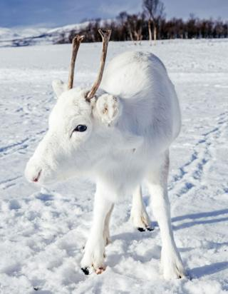 Rare white reindeer calf spotted on digicam in Norway